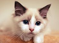 精品布偶猫高清壁纸图片