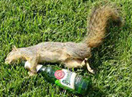 动物搞笑内涵图之松鼠也喝酒