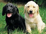 懒洋洋的拉布拉多犬幼犬图片