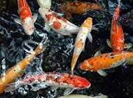 龙凤锦鲤鱼图片 象征富贵吉祥