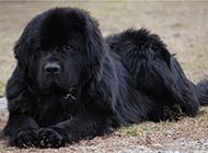 巨型黑色纽芬兰犬草地休息图片分享