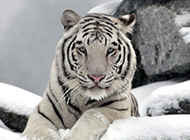 珍稀动物图片雪地老虎高清特写壁纸