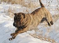 加纳利犬雪地霸气玩耍图片