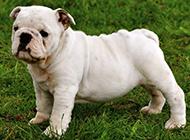 白色斗牛犬幼犬超萌图片