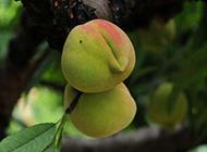 树上的水果桃子图片