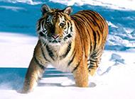 生猛老虎高清食肉动物图片