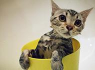 银魂茶杯猫活泼可爱图片