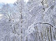 冰雪覆盖的高山树木图片