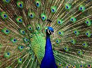 开屏的蓝孔雀图片绚丽迷人