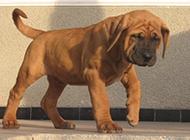 学走路的丑萌小土佐犬图片