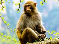 身手矫捷的可爱猴子图片