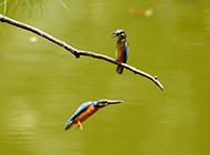 小翠鸟图片惬意池塘唯美风景特写