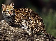 真正的纯野生豹猫图片壁纸