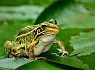 初夏荷塘青蛙清新美景图片