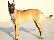 姿态高雅的纯种比利时马犬图片
