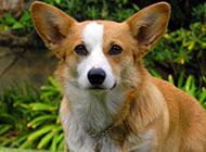 威尔士柯基犬可爱外表图片