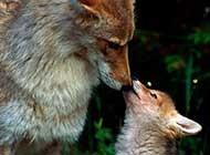 机智凶残的狼高清图片欣赏