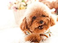 招人喜爱的棕色泰迪犬图片