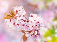 好看的粉色樱花风景摄影图片