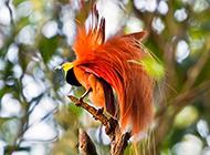 最漂亮天堂鸟图华美无比