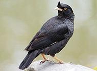 五个月大的八哥鸟图片萌萌哒