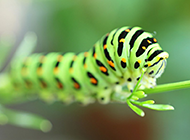 毛毛虫变蝴蝶高清图片