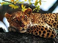 亚洲花豹森林抓拍图片
