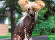 中国冠毛犬精美图片欣赏