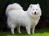 萨摩耶犬傲娇神态图片