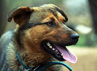 德国狼犬近距离表情特写图片