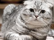 呆萌的动物折耳猫图片大全
