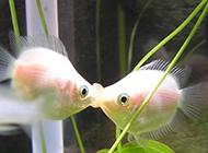 接吻鱼水族箱图片萌萌的