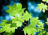 春天里葱绿的树叶高清组图