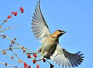 欢快飞行的太平鸟图片