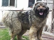 世界最大高加索犬魁梧图片