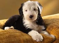 三个月大的可爱小巧古牧犬图片