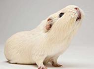 招人喜爱的小豚鼠高清动物壁纸
