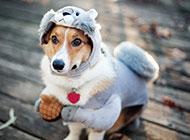 调皮机灵的可爱萌宠狗狗壁纸