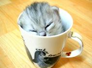 小茶杯猫睡觉图片欣赏