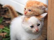 抱在一起的中华田园猫幼崽图片