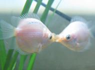 接吻鱼唯美图片招人喜爱