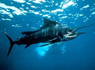 海底畅游的长剑鱼图片