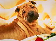 沙皮犬的高清唯美图片