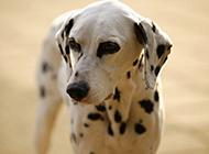 黑白斑点狗大麦町犬特写图片