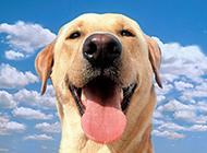 高清纯种拉布拉多犬图片壁纸