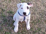 安静的白色纯种杜高犬图片