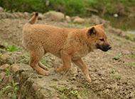 中华田园犬图片可爱幼犬图片