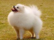 户外活动的成年白色博美犬图片