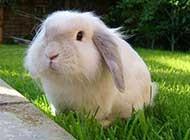 可爱迷人的迷你垂耳兔高清图片