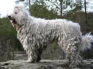 惹人喜爱的可蒙犬图片